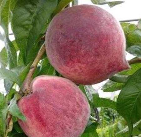 [供]供应蜜桃,主打金安脆桃品牌,卖相好,口感脆甜可口 果个中等偏